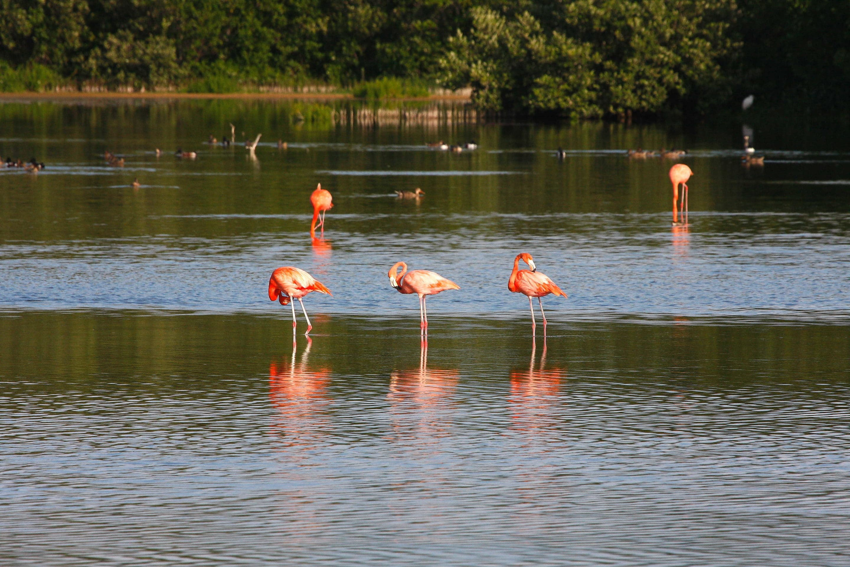 American Flamingoes, Cayo Coco