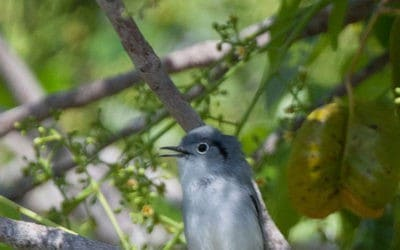 December bird survey locates 21 Cuban endemic species
