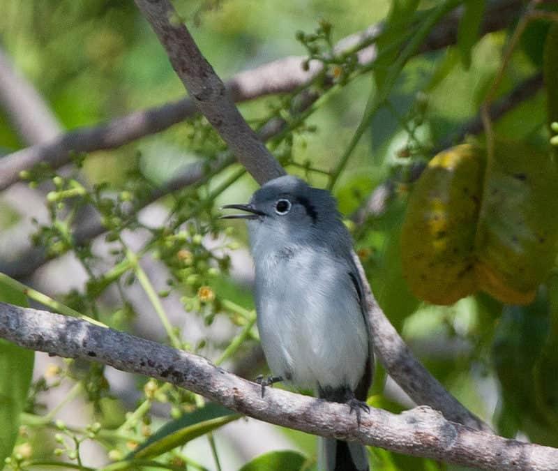 December bird survey locates 21 Cuban endemic species
