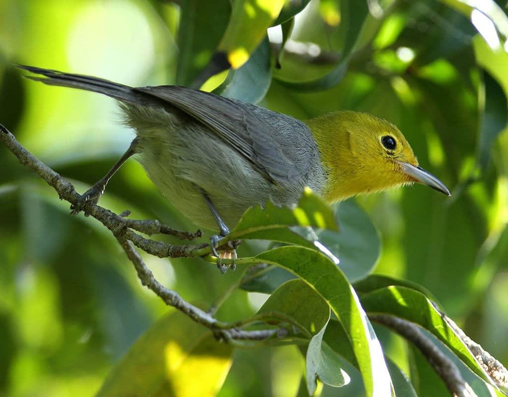 E. Yellow-headed Warbler