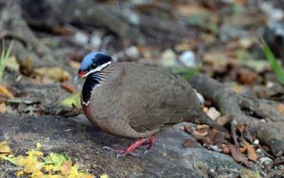 Cuba's Blue-headed Quail-Dove is unlike any other New World dove