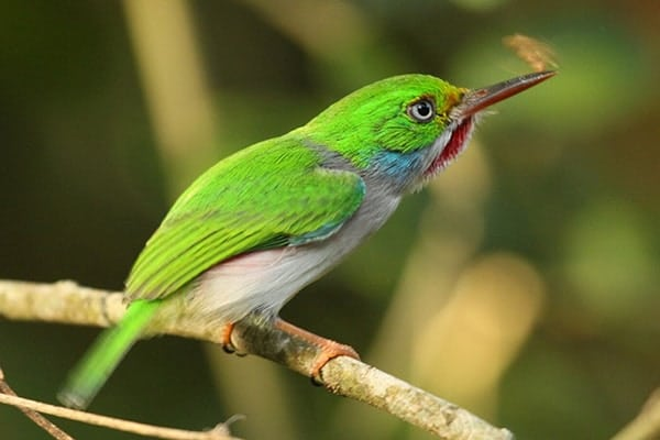 Eastern Cuba Spring Migration and Endemic Birds 2020